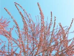 """22400g能量!蚂蚁森林上线新树种""""红柳"""""""